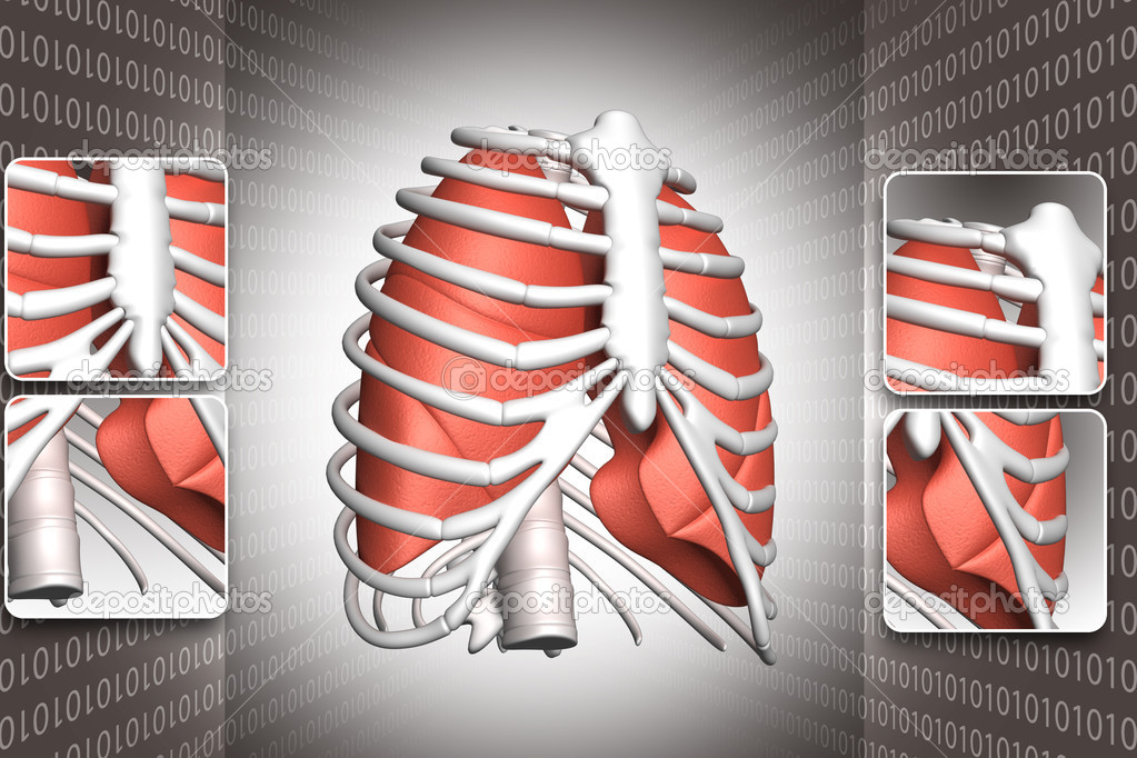costilla y pulmones humanos — Foto de stock © rbhavana #3053065