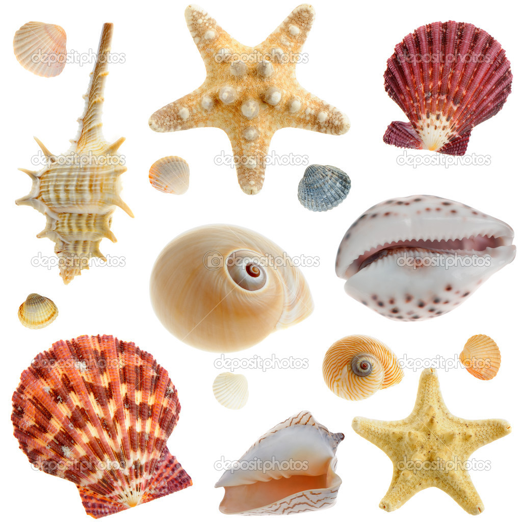 Set of sea cockleshells