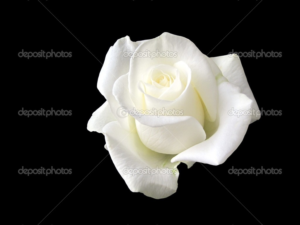 White Rose Stock Photos Royalty Free White Rose Images Depositphotos