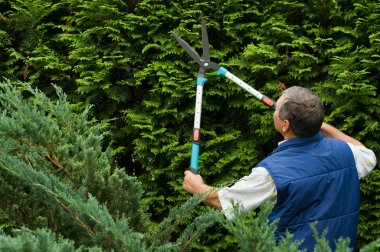 Senior man gardener cut a hedge stock vector
