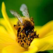 Close-up včely na květu sbírá nektar
