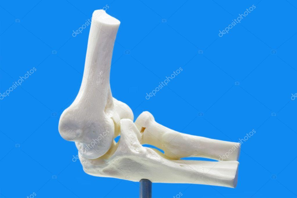 Anatomie Modell vom menschlichen Ellenbogen — Stockfoto © saphira ...