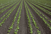 Fotografia righe di lattuga giovane in un campo