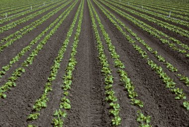 Rows of young lettuce in a field
