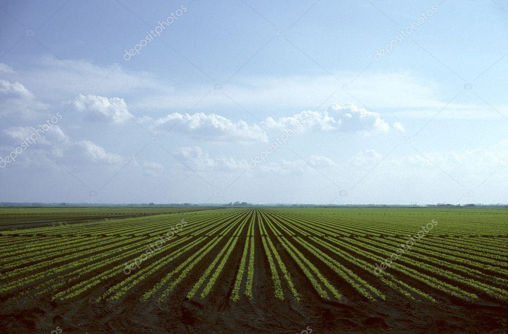 Rows of carrot plants growing in field