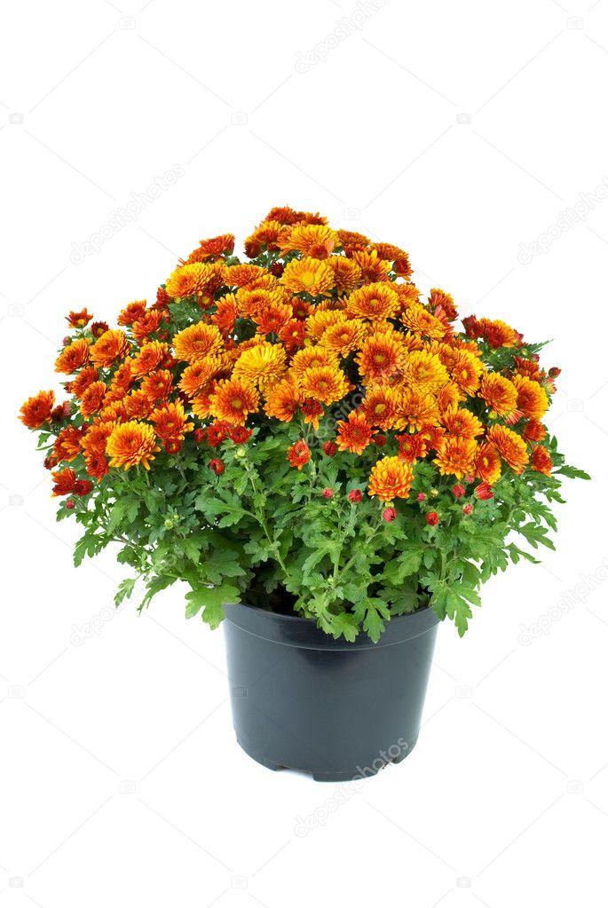 Flower pot with orange chrysanthemum flowers — Stock Photo