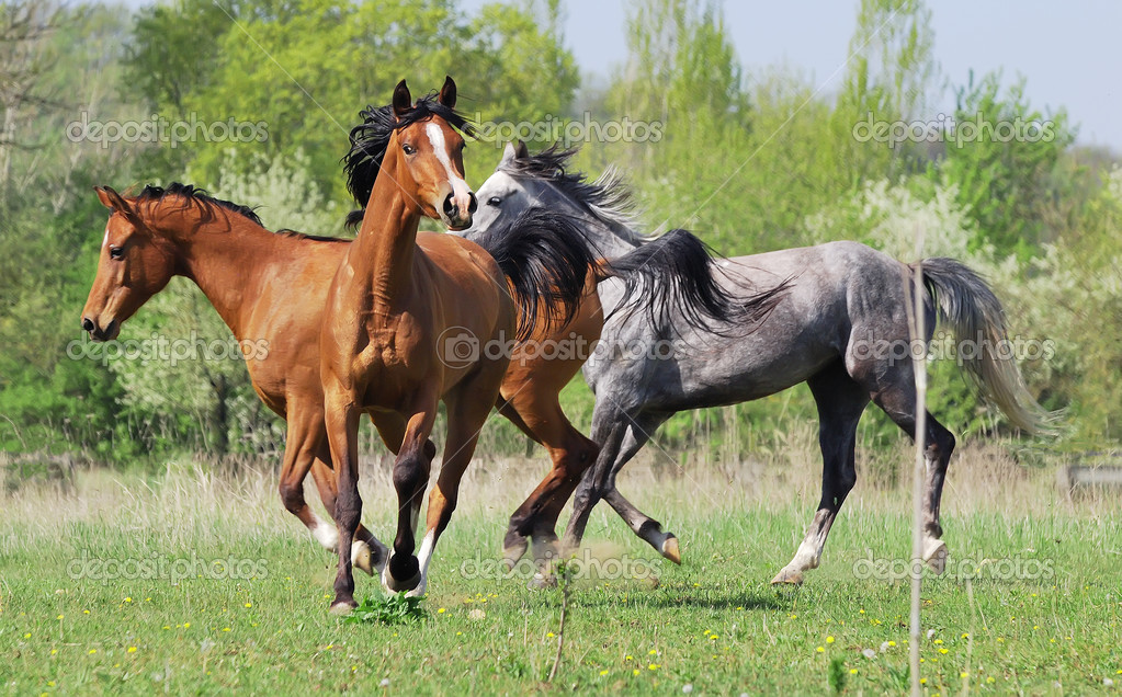 Herd of arabian horses playing on pasture