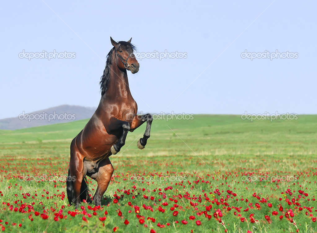 Beautiful brown horse rearing on pasture