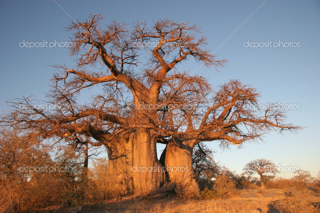 Boabab tree in Botswana