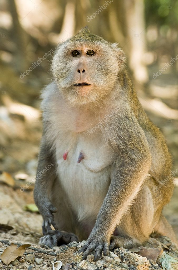 Macaque monkey in Cambodia