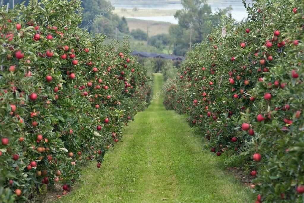 Apple garden — Stock Photo © NataliGlado #3161662