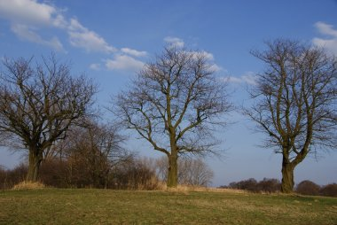Three old sweet-cherry trees without lea