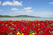 nádherné panorama na Balatonu s červenými květy