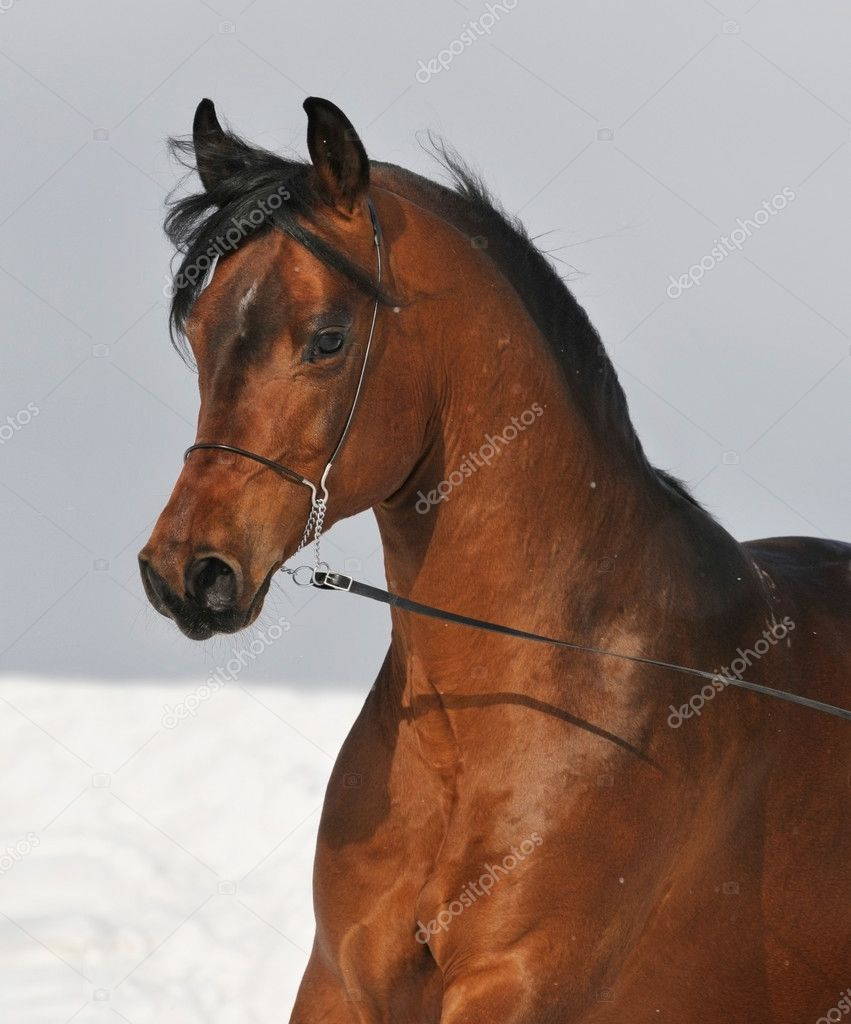 Bay Arabian Horse Portrait Stock Photo C Vikarus 2788357