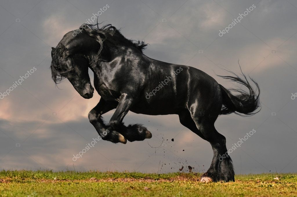 Black friesian stallion gallop in sunset