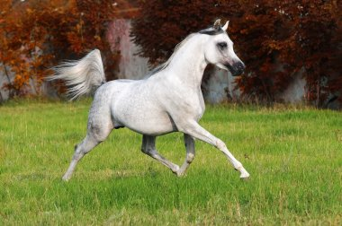 White arabian horse