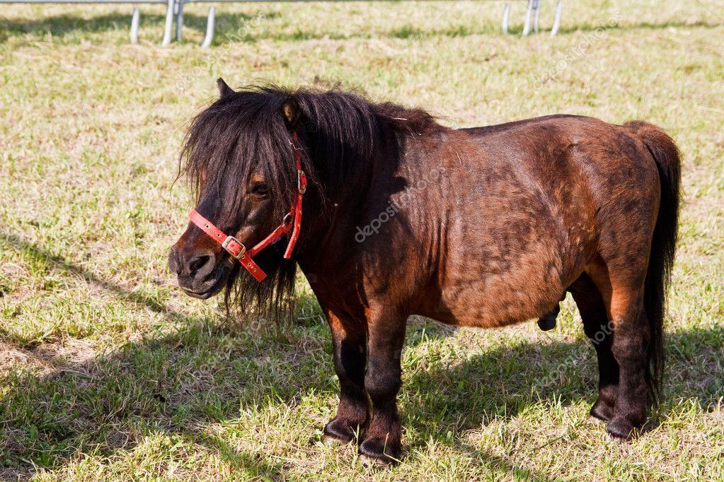 Dwarf Horse