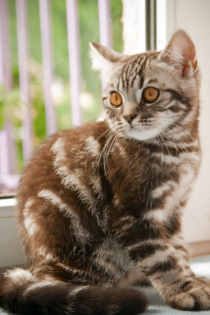 Light brown tabby cat