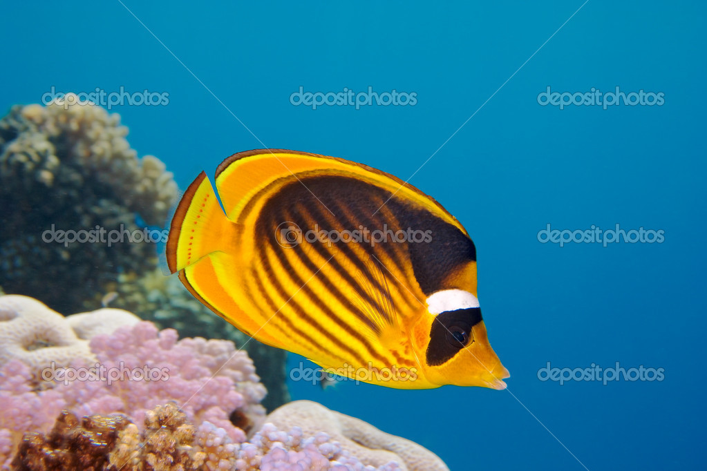 Closeup of butterfly fish - Red Sea