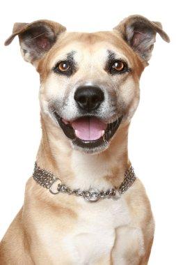 American Staffordshire dog