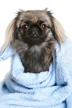 Pekingese dog wrapped in a blue towel