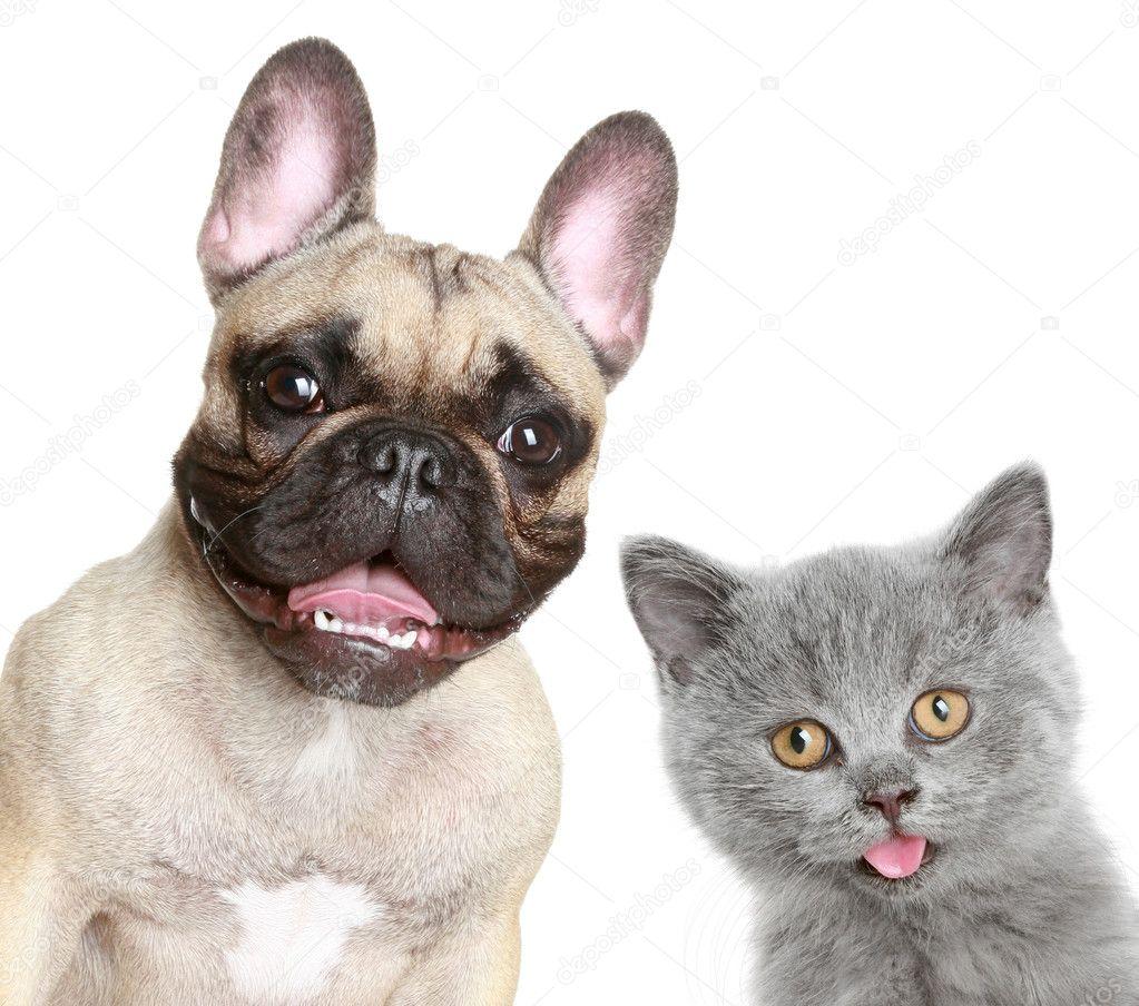 French bulldog and grey kitten