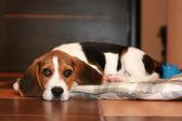 Photo Beagle puppy