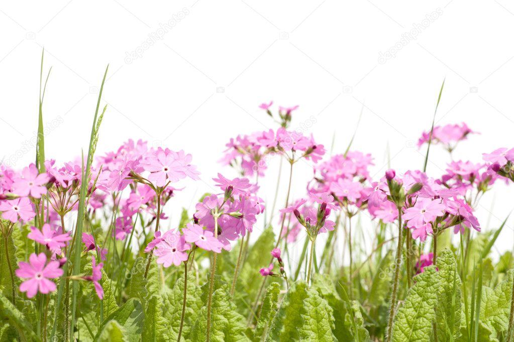 Dzikie Leśne Kwiaty Pierwiosnek Zdjęcie Stockowe Stask