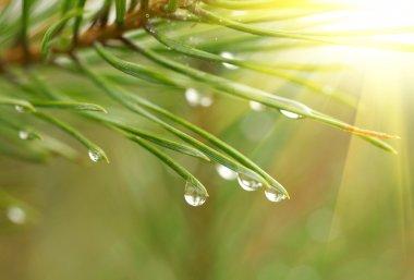 Water drops at fir tree
