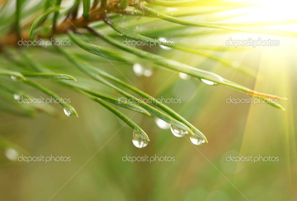 Water drops at fir tree