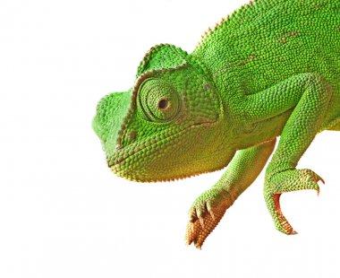 Close up of chameleon
