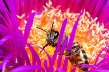 Macro of a bee in a flower