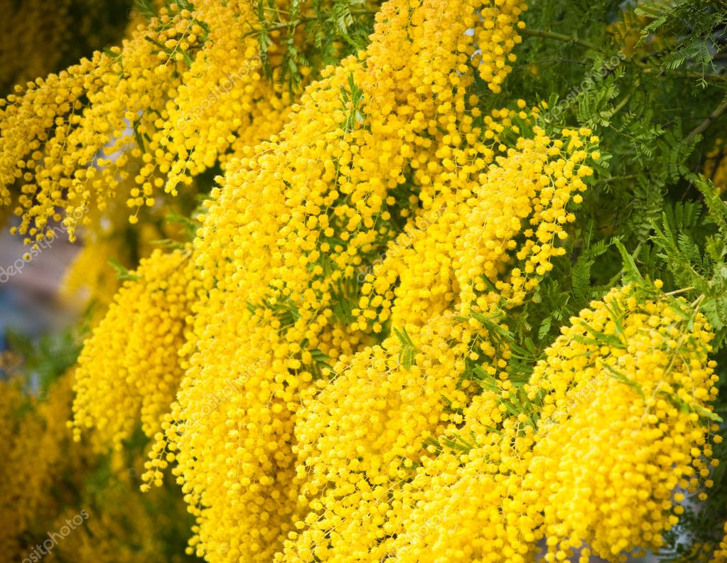 Yellow Mimosa Flowers Stock Photo Morozena 2956793