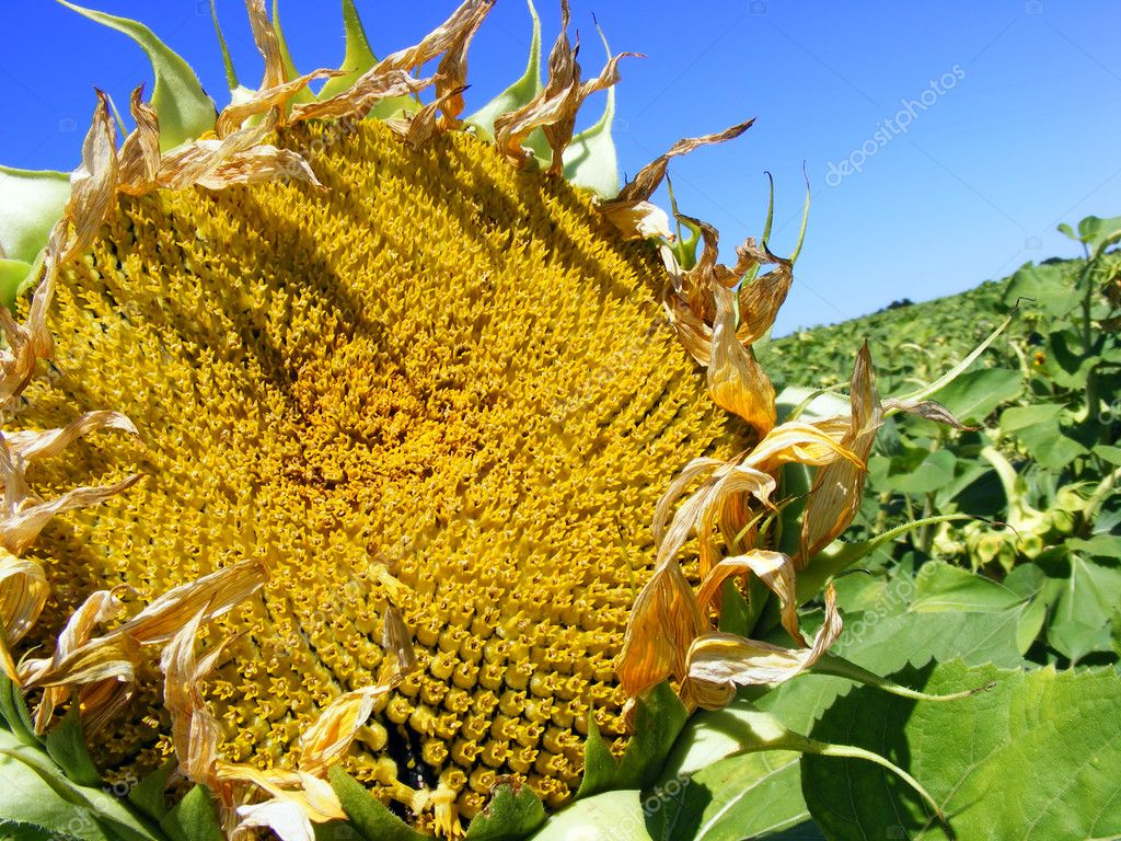 Field of sunflowers - ready for harvest