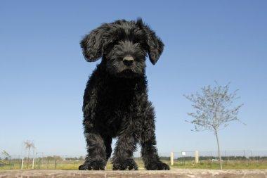 Puppy cao de agua