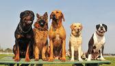 Fényképek öt nagy kutyák