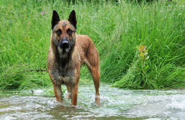 Malinois in river