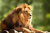 Fotografia leone africano rilassante