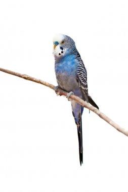 Little budgie parrot