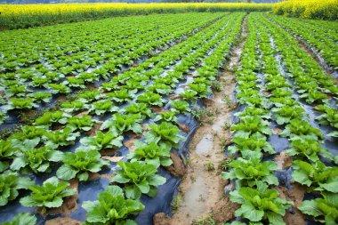 Chinese mustard field