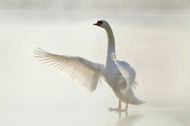 Swan on the frozen lake