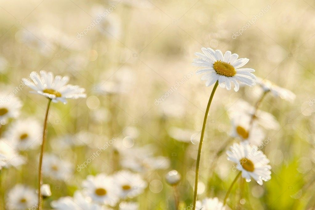 Daisies in the early morning