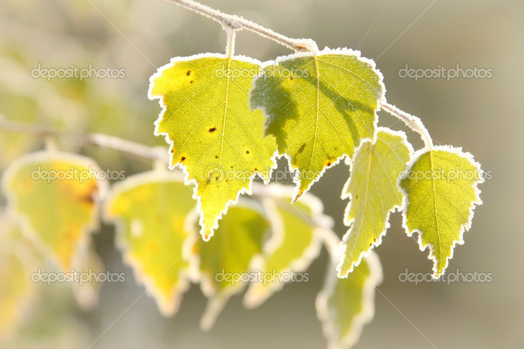 Autumn birch leaves