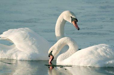 Swans at sunrise