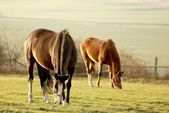 Fotografie Grazing horses