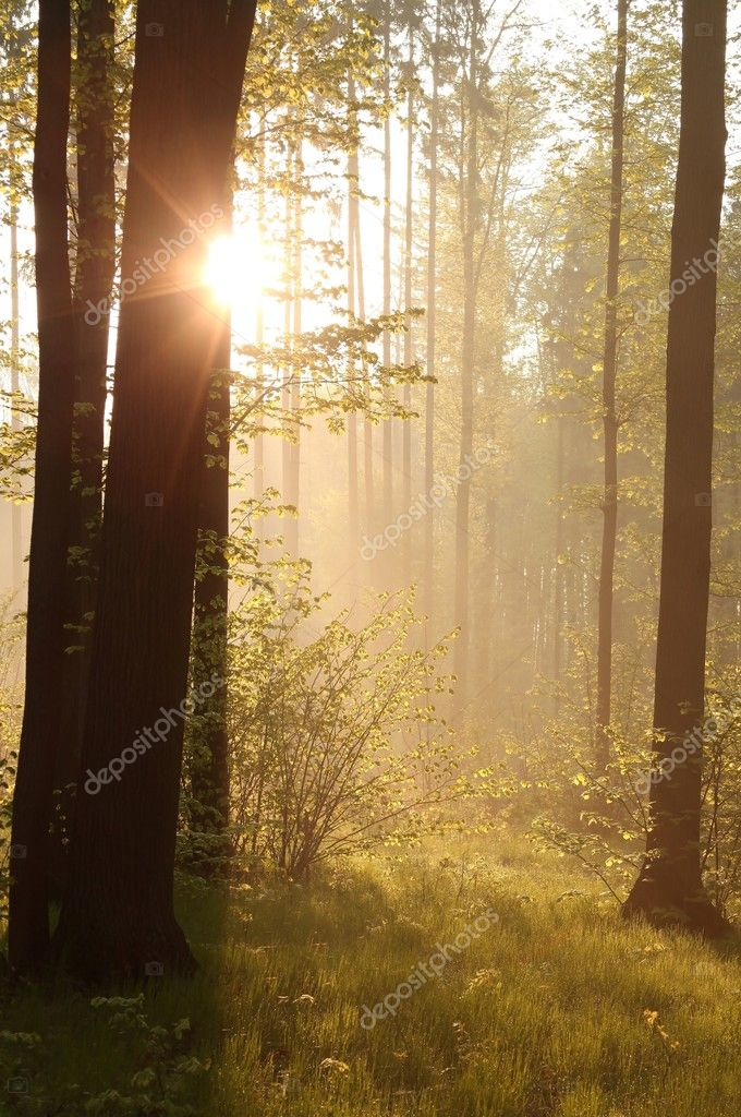 Фотообои Sunrise through the trees in the forest