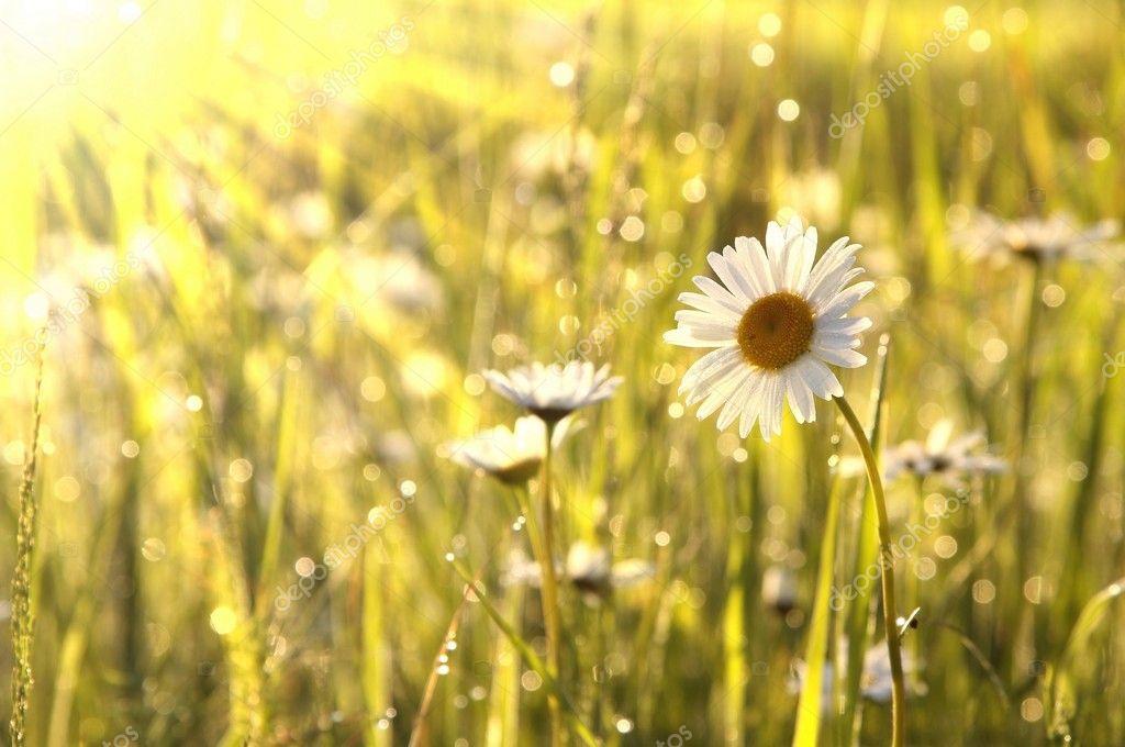 Daisy in the sunshine