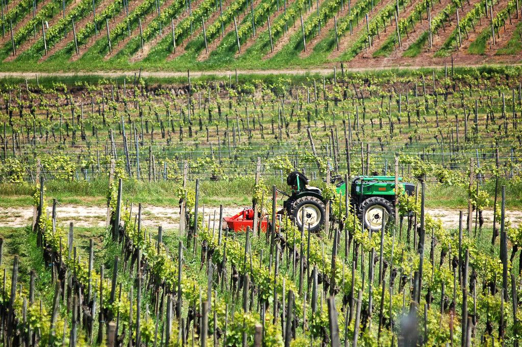 Farmer tractor in the vineyard