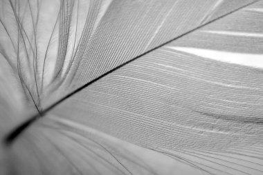 B&W feather closeup