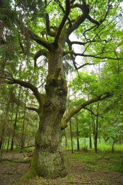 Old oak.